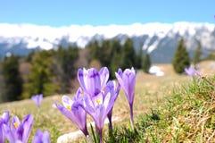 番红花紫色季节春天 库存照片