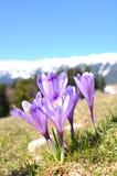 番红花紫色季节春天 免版税图库摄影