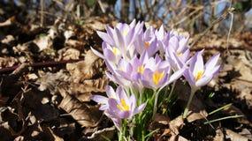 番红花紫色春天 库存图片