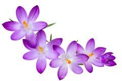 番红花紫色 图库摄影