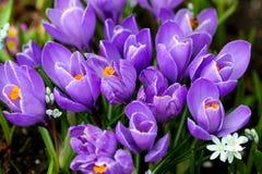 番红花紫色 库存照片