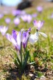 番红花紫色snowdrops 免版税库存照片