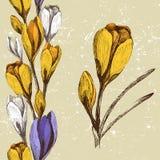 番红花花和无缝的花卉边界 免版税图库摄影