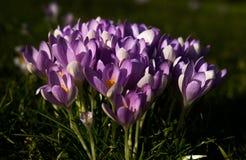 番红花花在春天阳光下 库存照片