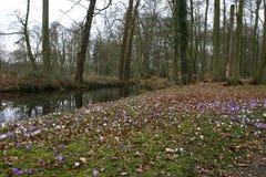 番红花花在森林里 免版税库存照片