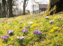 番红花草甸在公园 免版税库存照片