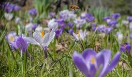 番红花蜂蜜蜂 免版税库存照片