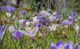 番红花蜂蜜蜂 免版税图库摄影
