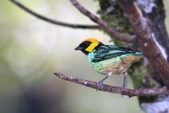 番红花被加冠的唐纳雀,秘鲁的美妙的鸟 免版税图库摄影