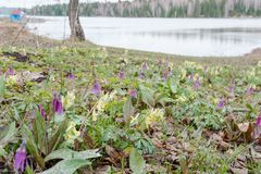 番红花被遣散了 第一花春天 snowdrops沼地 免版税库存照片