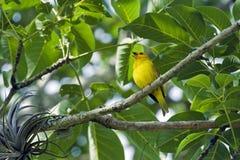 番红花雀科,一只巴西歌手鸟 库存图片
