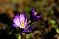 番红花雌蕊,番红花花,春天开花 免版税库存照片