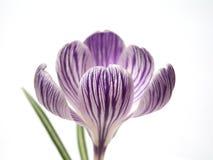 番红花顶头紫色 库存照片