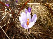 番红花,番红花heuffelianus, flover,紫罗兰色 库存照片