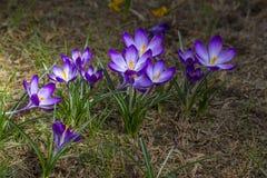 番红花-其中一朵第一朵春天花 免版税库存照片