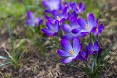 番红花-其中一朵第一朵春天花 库存照片