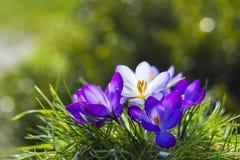 番红花-其中一朵第一朵春天花 库存图片