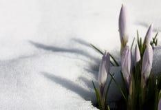 番红花 在雪的一片树荫 库存图片