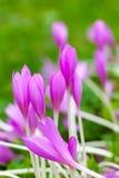 番红花 在绿色草甸的明亮的紫罗兰色春天花 库存图片