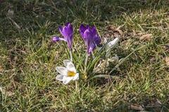 番红花-春天的第一个标志 库存图片