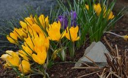 番红花紫色黄色 库存照片