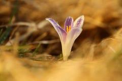 番红花albiflorus 一棵罕见的植物 捷克的自由本质 库存图片