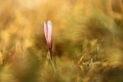 番红花albiflorus 一棵罕见的植物 捷克的自由本质 免版税图库摄影
