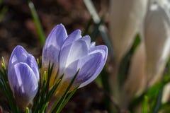 番红花chrysanthus -蓝色珍珠 库存图片