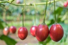 番茄果子 库存照片