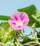 番薯属purpurea淡紫色,桃红色花,紫色,高或者共同的牵牛花,关闭 库存图片
