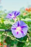番薯属purpurea淡紫色,桃红色花,紫色,高或者共同的牵牛花,关闭 免版税库存图片