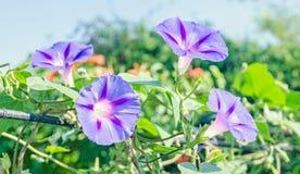 番薯属purpurea淡紫色,桃红色花,紫色,高或者共同的牵牛花,关闭 库存照片