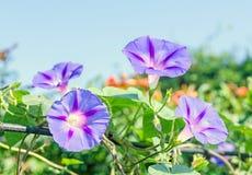 番薯属purpurea淡紫色,桃红色花,紫色,高或者共同的牵牛花,关闭 免版税图库摄影