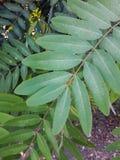 番泻树叶子 库存照片