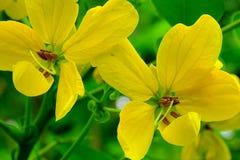 番泻树Floribunda或金黄华丽的桂皮花 免版税库存图片