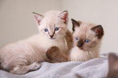 畸形的人的喜马拉雅小猫拿着兄弟姐妹小猫 免版税库存图片