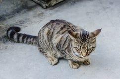 畸形的人的猫-基韦斯特岛,佛罗里达 库存照片