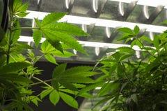 医疗目的大麻 免版税库存照片
