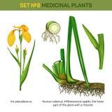 医疗虹膜pseudacorus或黄色和水旗子、杠杆和底部或者根,开花茎化锥的根茎或 向量例证