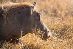 疣在日落的肉猪步行 免版税图库摄影