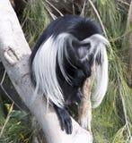 疣猴猴子 免版税库存照片