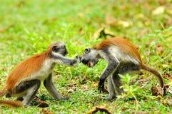 疣猴红色新桑给巴尔 库存图片
