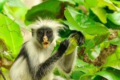 疣猴kirkii procolobus红色桑给巴尔 库存照片