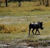 疣肉猪徒步旅行队欢欣 图库摄影