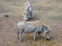 疣肉猪 免版税库存图片