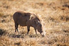 疣肉猪 图库摄影