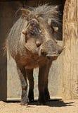 疣肉猪 库存图片