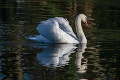 疣鼻天鹅和反射在冬天 免版税库存照片