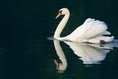疣鼻天鹅和反映 库存照片