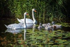 疣鼻天鹅和年轻小鸡家庭  图库摄影